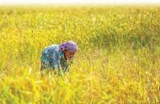 Xuất khẩu gạo của Campuchia tăng mạnh trong 2 tháng đầu năm 2020