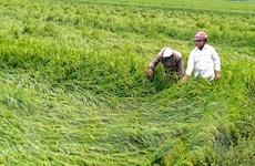 Mưa lớn khiến hơn 10.000ha lúa ở Thừa Thiên-Huế bị đổ ngã, ngập úng