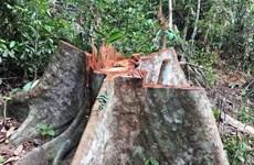 Gia Lai: Khẩn trương điều tra, làm rõ vụ khai thác gỗ trái pháp luật