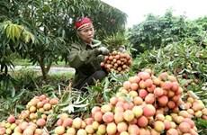 Vải thiều sớm Bắc Giang thu hoạch rộ, tiêu thụ 1.000 tấn mỗi ngày