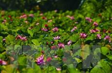Chiêm ngưỡng vẻ đẹp thơ mộng mùa sen trên đất cố đô Ninh Bình