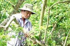 Vĩnh Long: Nỗ lực khôi phục vườn cây ăn trái sau hạn mặn