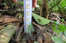 Bảo tồn thành công hai loài thông quý hiếm tại Khu bảo tồn Pù Luông