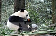 Nhiều động vật ăn thịt lớn đang biến mất trong khu bảo tồn gấu trúc