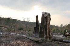 """Gia Lai: Quần thể gỗ hương quý hiếm bị """"lâm tặc"""" khai thác trái phép"""