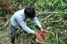"""Quảng Ngãi: """"Lâm tặc"""" ngang nhiên phá rừng phòng hộ"""