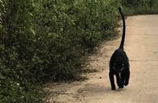 Quảng Trị: Dùng chó nghiệp vụ xua đuổi đàn vọoc dữ tợn trở lại rừng