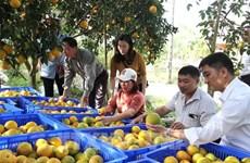 Cam lòng vàng Hà Giang tiêu thụ mạnh ở chuỗi siêu thụ VinMart