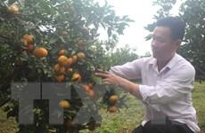 Những vườn cam lòng vàng trĩu trịt quả trên những sườn đồi ở Xuân Hòa