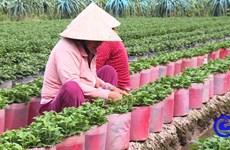 Cung ứng ra thị trường Tết Nguyên đán 2021 hơn 1 triệu giỏ hoa