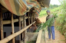 Hàng trăm trâu, bò chết vì rét đậm, rét hại tại Kon Tum