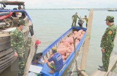 Phối hợp tăng cường quản lý chặt vận chuyển lợn qua biên giới