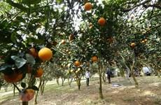 Nâng tầm những quả cam đặc sản, nghiên cứu đầu tư các chế phẩm