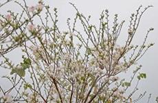 [Photo] Hoa ban nở rộ khoe vẻ đẹp tinh khôi nơi vùng cao Tây Bắc