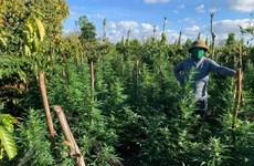 Đắk Lắk: Phát hiện gia đình trồng trái phép cây cần sa trong rẫy càphê