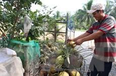 Nông dân Tiền Giang phấn khởi bởi giá dừa khô đang tăng mạnh
