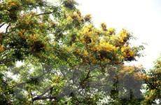 Hàng ngàn du khách thưởng lãm mùa hoa sưa bên dòng sông Tam Kỳ