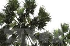 [Photo] Thốt nốt - loại cây đặc trưng của vùng Bảy núi An Giang