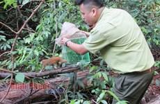 Bình Phước: Thả 4 cá thể động vật hoang dã quý hiếm về rừng