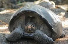 Rùa khổng lồ tưởng đã tuyệt chủng bất ngờ tái xuất hiện ở Ecuador