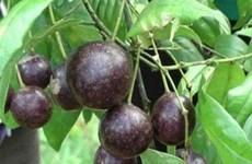 Đẩy mạnh tuyên truyền phòng tránh ngộ độc do ăn quả hồng châu