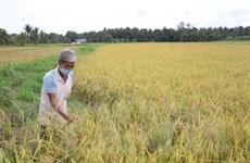 Bến Tre tập trung nguồn lực hỗ trợ nông dân thu hoạch lúa Hè Thu