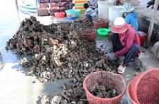 """Quảng Ninh: Hàu rớt giá, ngư dân """"chôn"""" tiền dưới biển"""