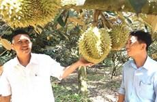 Sức tiêu thụ kém khiến trái cây tại Bến Tre giảm giá do dịch