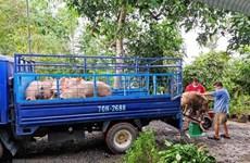 Dự báo giá lợn hơi xuất chuồng thời gian tới sẽ tiếp tục tăng