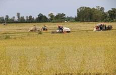 Thị trường nông sản tuần qua: Thị trường lúa, gạo tiếp tục ổn định