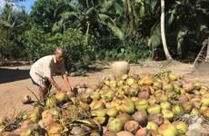 Giá dừa khô tại tỉnh Trà Vinh liên tục tăng giá suốt 2 tháng