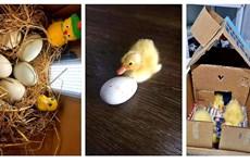 Trào lưu ấp trứng, nuôi vịt làm thú cưng trong những ngày giãn cách