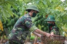 Quân nhân Thủ đô lội ruộng thu hoạch nông sản giúp người nông dân
