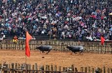 Ảnh hưởng dịch viêm phổi: Dừng tổ chức lễ hội chọi trâu Phù Ninh