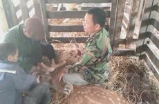 Chăn nuôi hươu sao: Hướng đi mang lại hiệu quả kinh tế cho nông dân