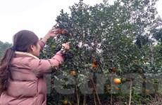 Cam bù: Sản phẩm nông nghiệp chủ lực của vùng núi Hương Sơn