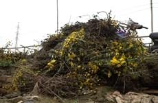Hà Nội: Người trồng hoa tại làng hoa Tây Tựu lao đao vì COVID-19