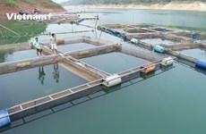 Kiếm tiền tỷ nhờ nuôi cá bán tự nhiên trong lòng hồ thủy điện Hòa Bình