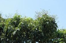 Canh cánh nỗi lo xuất khẩu vải thiều trong tình hình dịch COVID-19