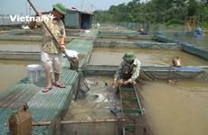 [Video] Nông dân xuất sắc kiếm tiền tỷ mỗi năm trên sông Kinh Thầy