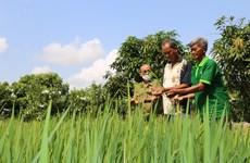 Không tiếp tục gieo trồng giống lúa có tên ''Thiên Đàng''