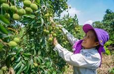 Thu trái ngọt sau hành trình 20 năm cõng cây vải thiều lên núi