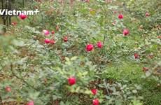 [Video] Vườn hồng cổ đạt tiêu chuẩn hữu cơ kép đầu tiên của Việt Nam