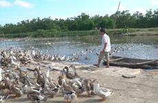 [Video] Nông dân kiếm tiền tỷ mỗi năm nhở mô hình nuôi vịt biển sạch