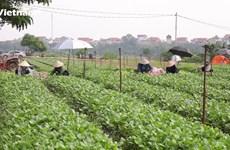 [Video] Vùng xanh trở lại sản xuất để cung ứng thực phẩm cho Thủ đô