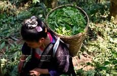 """[Photo] """"Vàng xanh"""" trên cao nguyên Tủa Chùa- Điện Biên"""