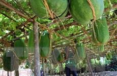 [Photo] Bình Định vào mùa thu hoạch bí đao khổng lồ