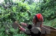 Người trồng mận Lào Cai phấn khởi vì được mùa, giá cao