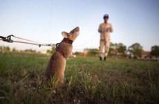 """""""Chuyên gia chuột"""" giúp Campuchia gỡ bom mìn sót lại từ chiến tranh"""