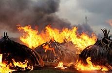 """[Video] Cận cảnh """"núi ngà voi"""" 172 triệu USD bị Kenya đốt bỏ"""
